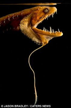 We have some seriously creepy-looking fish deep in our oceans. Behold, the Pacific dragonfish