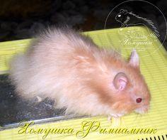 Double Satin: ppuullSaSa Dwarf Hamsters, Pet Rodents, Hamster Treats, Syrian Hamster, Satin, Pets, Animals, Animales, Animaux