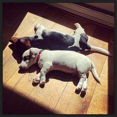 Samen zonnebaden... #blijehond #puppyEhkä #puppyspam