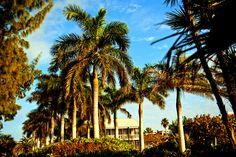 Florida Palm Trees!