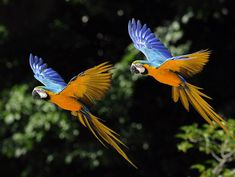 Blue and gold macaws on their way to somewhere.