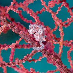 Pygmy Seahorse, Solomon Islands