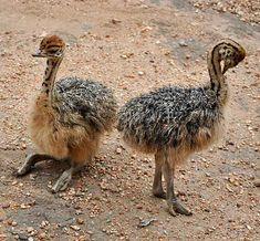 Afbeeldingsresultaat voor baby ostrich