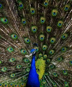 Peacock, Green, Alone, Nature, Blue Peacock Images, Peacock Photos, Peacock Painting, Diy Painting, Peacock Print, Peacock Blue, Teal, Photos Hd, Simple Canvas Paintings