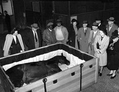 Man O' War in his coffin. The most famous Thoroughbred died November 1, 1947 at the age of 30 of an apparent heart attack. He was the first horse to be embalmed and his casket was lined in his riding colors. Man O' War's funeral was broadcast internationally over the radio and over 2,000 people came to pay their respects.