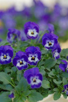 ビオラ ソルベXPデルフトブルー Viola Sorbet XP Delft Blue