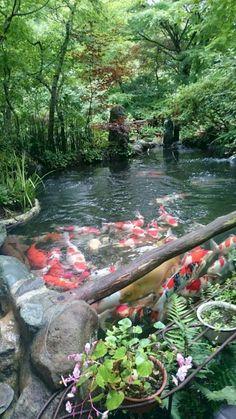 Fish Pond Gardens, Koi Fish Pond, Koi Ponds, Water Gardens, Koi Carp, Koi Pond Design, Landscape Design, Backyard Water Feature, Backyard Ponds