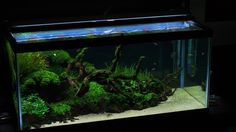 "Riccardia, Monte, Fissidens. ""Diving Deep"" - The Planted Tank Forum"