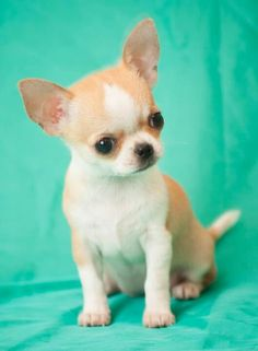 Chihuahua's are good for no other reason but to LOVE!!!