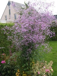 Thalictrum are tall plants with lacy-looking buds that open into clusters of soft flowers