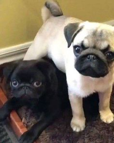 """Visit our web site for even more relevant information on """"black pugs"""". It is an outstanding location to get more information. Pug Puppies For Sale, Black Pug Puppies, Cute Puppies, Bulldog Puppies, Teacup Pug, Baby Pugs, Cute Pugs, Funny Pugs, Puppy Care"""