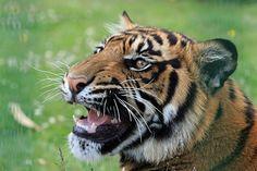 Tiger, Knurren, Nahaufnahme, Kopf
