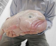 Psychrolutes marcidus, conhecido como peixe-gota ou blobfish é uma espécie de peixe que habita as águas profundas das costas da Austrália e Tasmânia, raramente sendo visto por seres humanos. O P. marcidus tem a capacidade de suportar a pressão alta destas profundezas porque seu corpo é realmente uma massa gelatinosa. Isto dá a capacidade de flutuar sem usar muita energia. Esta relativa falta de músculos não é uma desvantagem pois ingere matéria comestível que flutua em sua frente.