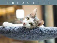 My name is BRIDGETTE.    I am a spayed female, white and grey tabby Domestic Shorthair.    The shelter staff think I am about 1 year and 8 months old.