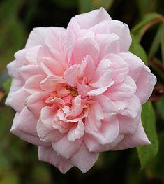 """Cecile Brunner Rose   Plants / Rosa : Rosa 'Cecile Brunner' """"Sweetheart Rose"""""""