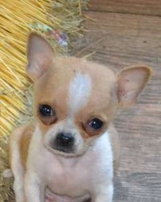 poor little apple head chihuahua