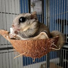 Flying Squirrel Found During Hurricane Stays Warm In His Mom's Pocket
