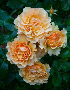 Floribunda Rose 'Amber Queen' One of my favorites. It's a smaller easy to grow floribunda that is beautiful.