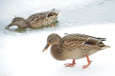 Mallards in icy water