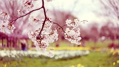 spring background wallpaper free screensavers flower springtime computer desktop green screen backgrounds for images wallpapers flowers studio website photo photography and hd photos pc pictures… Spring Wallpaper Hd, Frühling Wallpaper, Hd Flower Wallpaper, Wallpaper Backgrounds, Phone Backgrounds, Wallpaper Ideas, Bloom Blossom, Cherry Blossom Tree, Blossom Trees