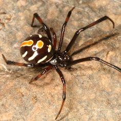 male Northern Black Widow - Latrodectus variolus