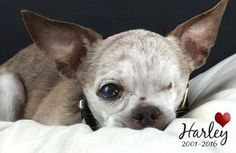 Harley was rescued from a deplorable puppy mill in terrible condition by National Mill Dog Rescue.