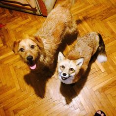 Fox Saved From Fur Farm Gets A New Dog Friend To Keep Her Company - Neatorama