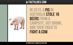 In 2013, A pig in Australia stole 18 beers from a campsite, got drunk, and then tried to fight a cow.