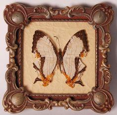 Opgezette vlinders in oude lijst - V0049