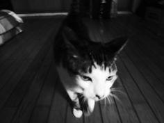 my cat a-man