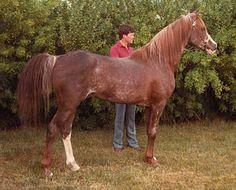 Farlane (Abu Farwa x Alleyna, by Alla Amarward) 1957 chestnut stallion bred by HH Reese. Sired 81 registered purebreds.