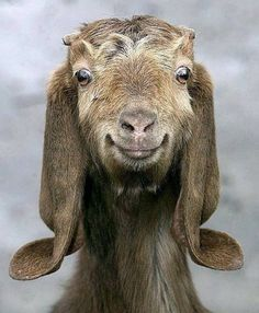 goat makes a funny face