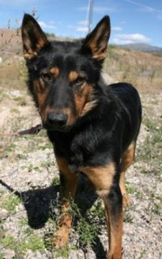 11 / 30     Petango.com – Meet Otto, a 1 year 2 months German Shepherd / Rottweiler available for adoption in DRIGGS, ID Contact Information Address  15 S 1750 E , Unit po box 1507, DRIGGS, ID, 83422  Phone  (208) 354-3499  Website  http://www.tvshelter.org  Email  manager@tvshelter.org