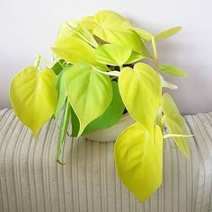 After a long search for this plant, I found it totally unexpected @tuincentrumdedriesprong 💛 philodendron cordatum
