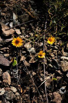 Flores crecen en el rocoso suelo a los pies de los Andes