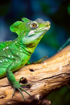Costa Rica's Jesus Christ Lizard, named for it's ability to run on top of the surface of water