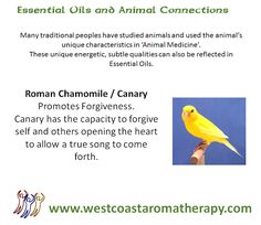 Essential Oil and Animal Connection: Roman Chamomile/Canary #westcoastaromatherapy #essentialoils #canary #romanchamomile