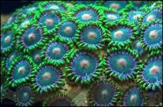 green bay packers zoas zoas coral frag on frag disc marine aquarium at Aquarist Classifieds
