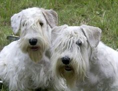 Although small, the Sealyham Terrier is the embodiment of power and determination – a true terrier! The Sealyham's wiry, weather-resistant double coat should be all white. Lemon, tan or badger-colored markings are allowed on the head and ears.
