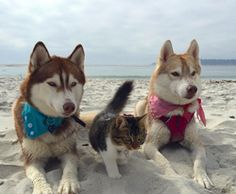 """Kitten Raised by HuskiesThinks She's a Dog 