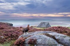 A Red Grouse on heather moorland in the Peak District National Park  Image: 2020VISION (© 2020VISION)