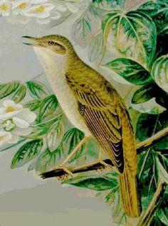 Le Rossignol, chantre des bois et des forêt | Comparable à la voix des Muses, la sonorité de son chant est admirable par sa douceur, sa variété et son éclat. Pourtant, cette mélodie est parfois teintée d'une mystérieuse mélancolie... zimzimcarillon.canalblog.com |  le rossignol Philomèle, Nachtigall (Luscinia megarhynchos). In J. F. Naumann, Naturgeschichte der Vögel Mitteleuropas, Gera, 1905.