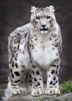 snow leopard. so big. so strong. so beautiful.