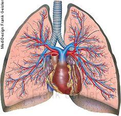 Anatomie Mensch Atemorgan Lunge Pulmo, Lungen mit Herz und Gefäße des…