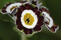 Growing with plants: HOW TO GROW AURICULA PRIMROSES