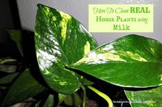 Spring Cleaning Tip-How To Clean REAL House Plants with milk — MeeganMakes