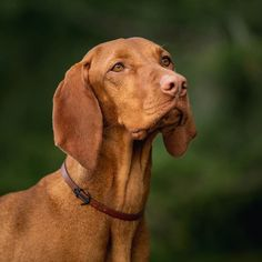 Find out additional details on hunting dogs. Check out our web site. Weimaraner, Vizsla Dog, Vizsla Puppies, Cute Puppies, Cute Dogs, Hungarian Vizsla, Pet Style, Dog Stories, Hunting Dogs
