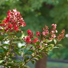 CREPE MYRTLE:  When to prune crepe myrtle: step by step instructions.  Late winter or early spring.