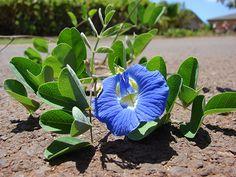 Clitoria Ternatea, Floarea Clitors, Fasolea Fluturilor este nativă din Asia ecuatorială, dar acum se cultivă și în Africa, Australia și America. albastru.