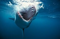 water, white shark, the ocean, south africa, sea, shark week, sharks, thing, animal